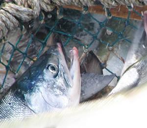 鮭の産地釧路からお届け