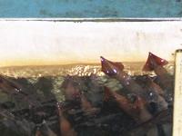 船内の水槽に入れられた朝イカ