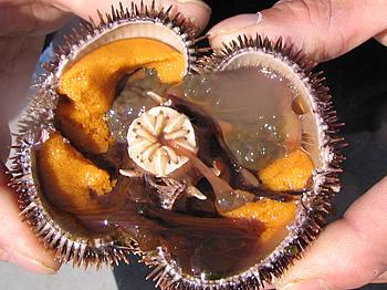 濃厚な甘みとコクがはっきりわかる粒ウニです
