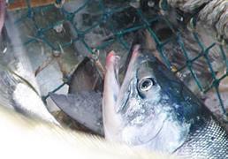 鮮度抜群の秋鮭を厳選