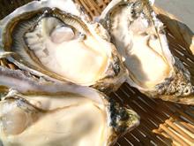 仙鳳趾寺澤さんの特大殻付牡蠣