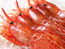 北海道産「活」日本海シマエビ