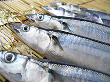 北海道産お刺身用「トロ秋刀魚」
